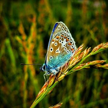 Blue Butterfly Print Picture