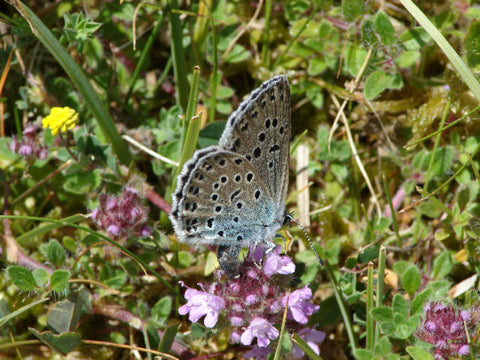 Large Blue Butterfly UK