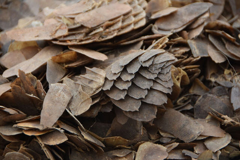 Confiscated Pangolin Scales