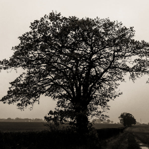 A dark oak tree