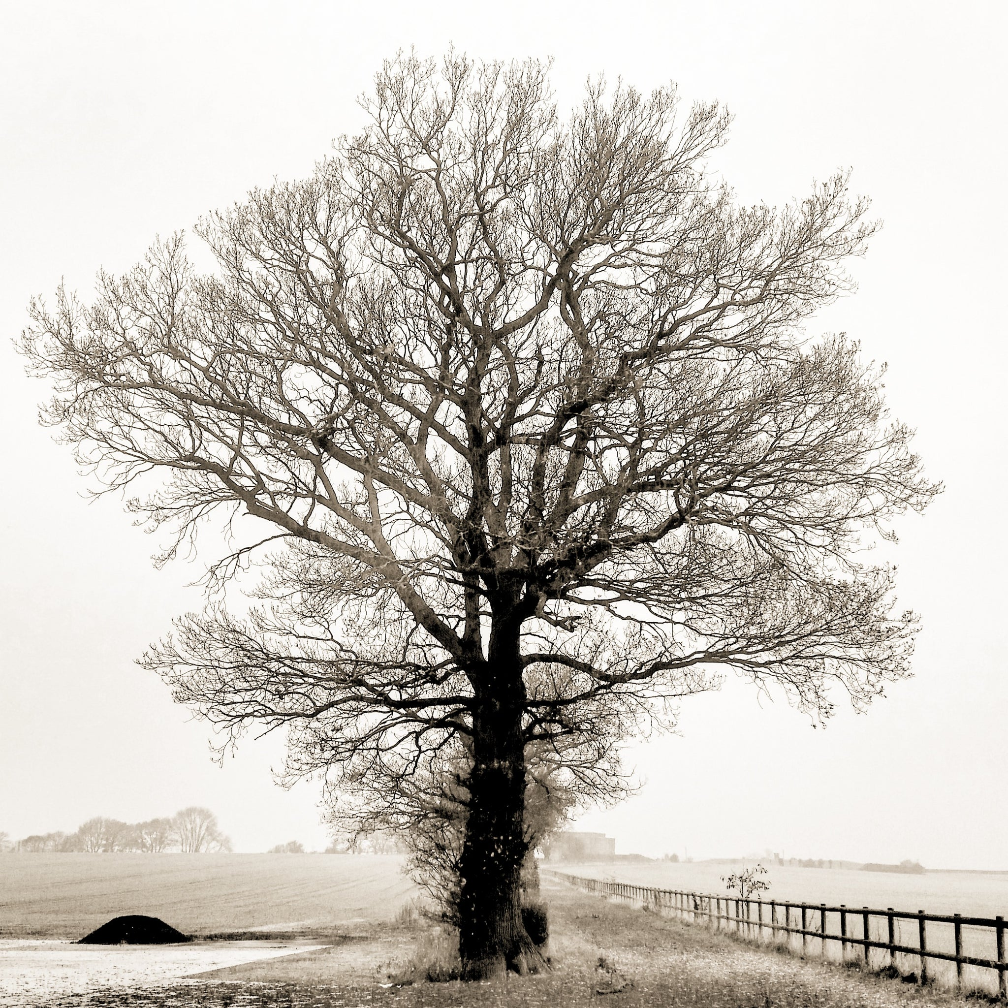 Misty oak tree