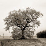 Oak tree in the mist
