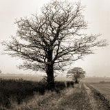 A misty oak tree