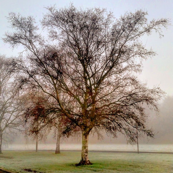 Misty birch tree