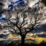 Oak tree at sunset