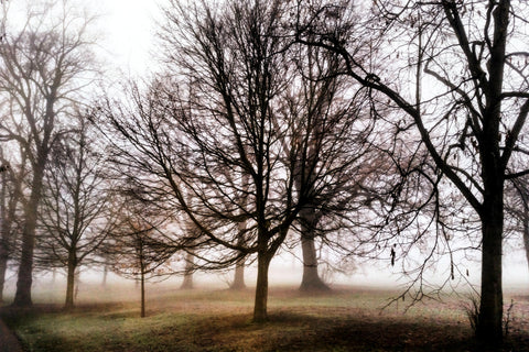 Misty greenwich trees
