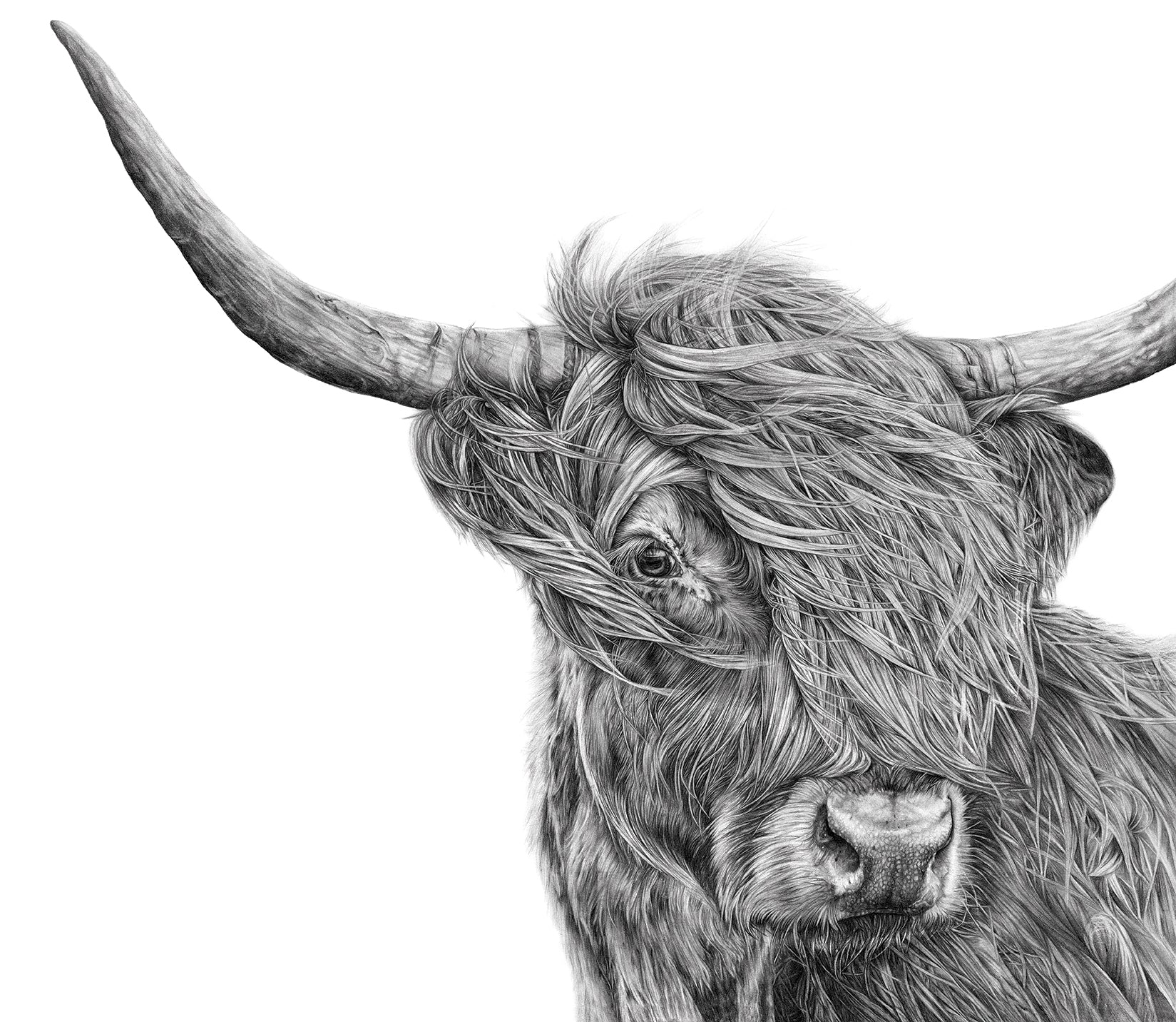Harry the Highland Cow - Extra Large Print