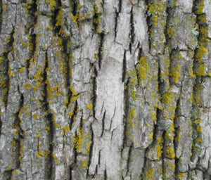 "Organic ""Mossy Bark"" Oak Tree One Drapery Curtain Panel - Cotton and Blackout lining available - bark curtain panel rustic home decor maple wood grain"