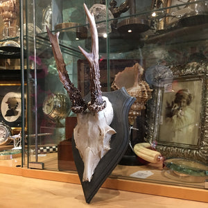 Faux Roe Deer Skull and Antlers on Wall Shield