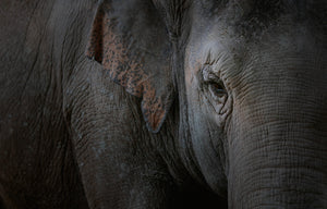 Mission statement. Face of elephant