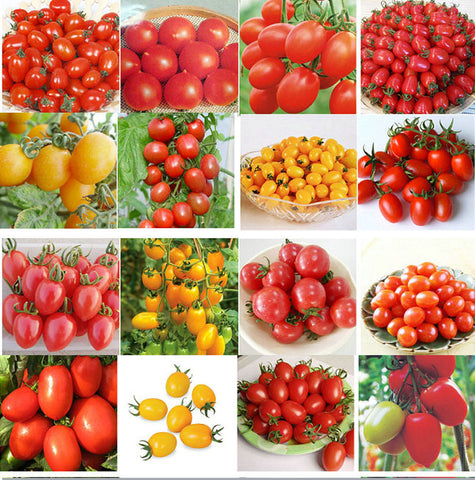 120PCS 24 KINDS Tomato Seeds Mixed Pack Purple Black Red Yellow Green Cherry Peach Pear seeds vegetables Organic Graden plants