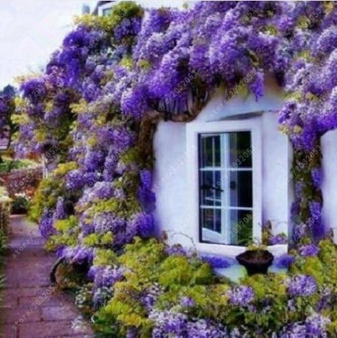 Wisteria seeds bonsai flower seeds wisteria tree plant perennial flowers climbing growth for home garden 10 pcs/bag