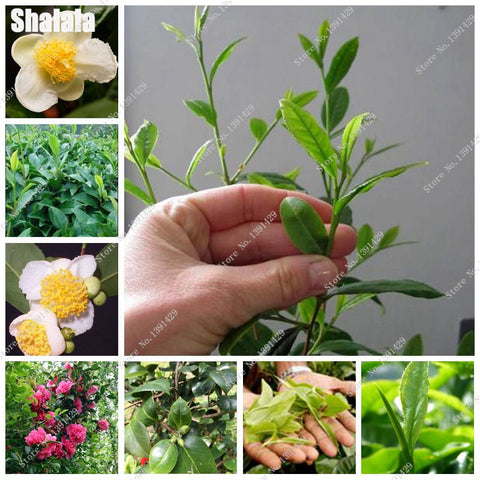 Rare Green Tea Tree seed Camellia Flowerpots Flower Street Planting Purifying Air, For Garden Decoration Bonsai Seed 3 Pcs Sale