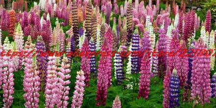 flowers Garden Flower Seeds20seeds/bag Lupine seed garden balcony flowerpot seed plants and flowers of autumn, free shipping