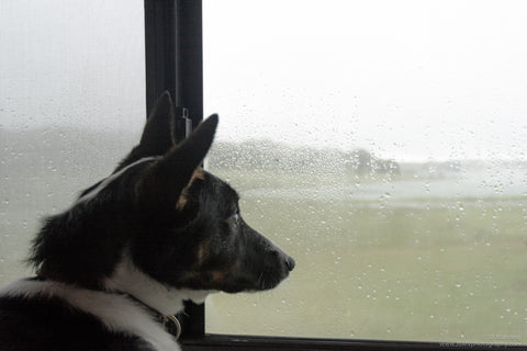 Rio, the rescue dog, wanting to go outside and play in the rain