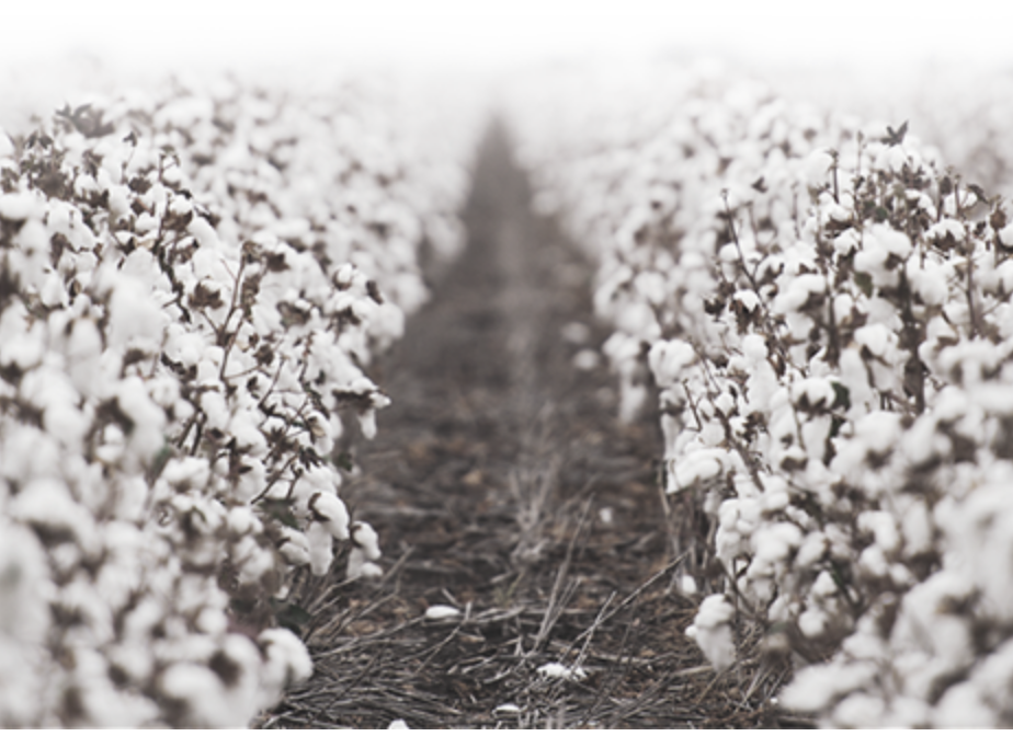 Egyptian Cotton Field