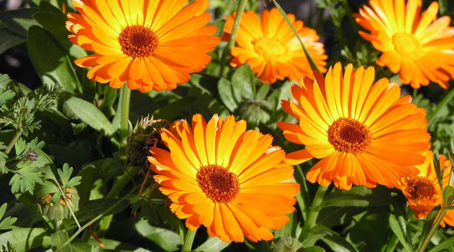calendula cream effects