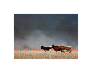 cattle at sunset konza press mark feiden photograph matted