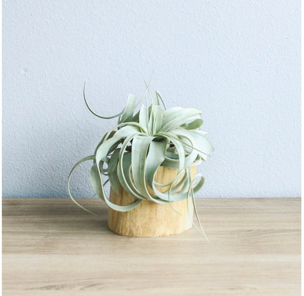 AIRPLANT DRIFTWOOD HOLDER
