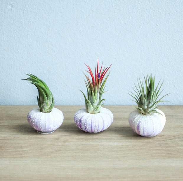 AIRPLANT URCHIN