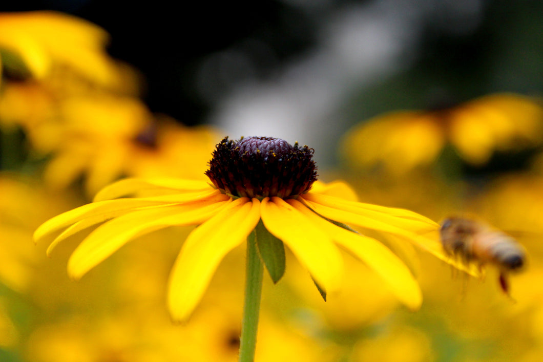 Blackeyed Susan by Michael Wehar