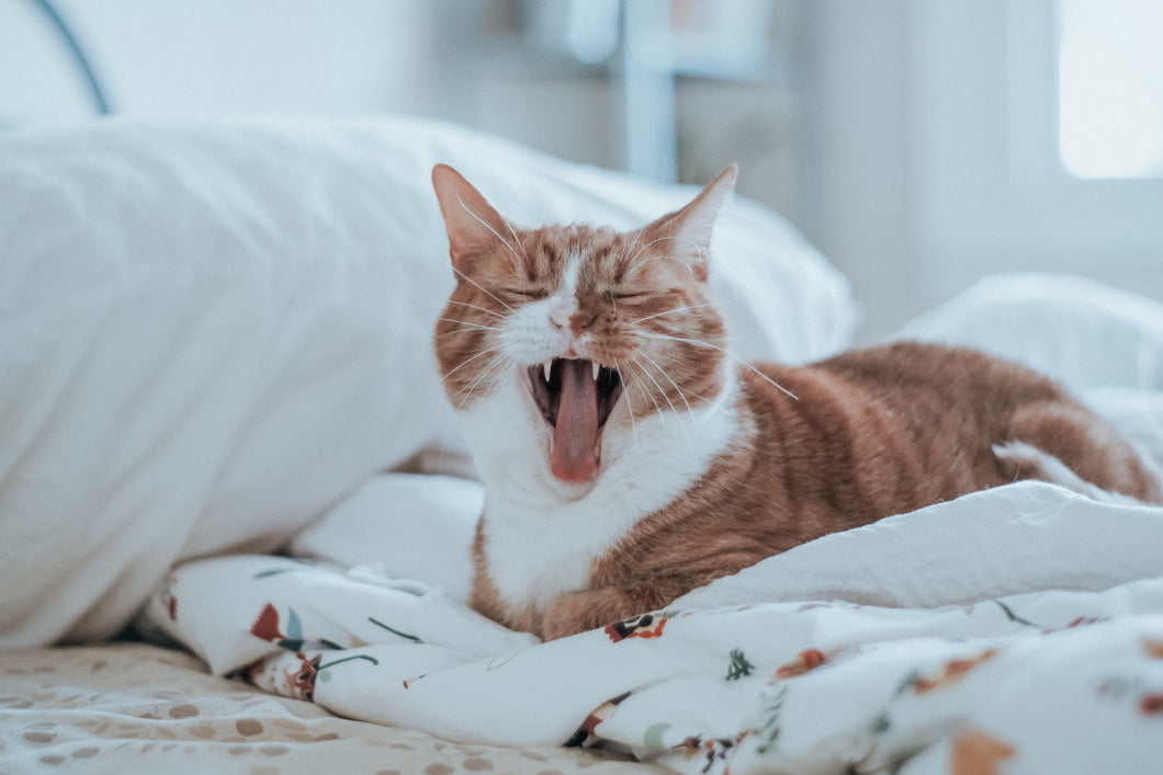 Yawning Cat Photography on ABS