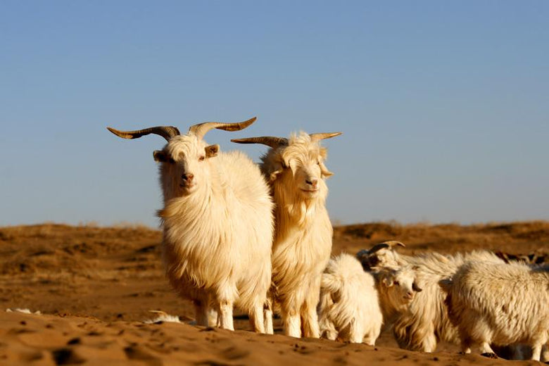 Cashmere goat on mountain