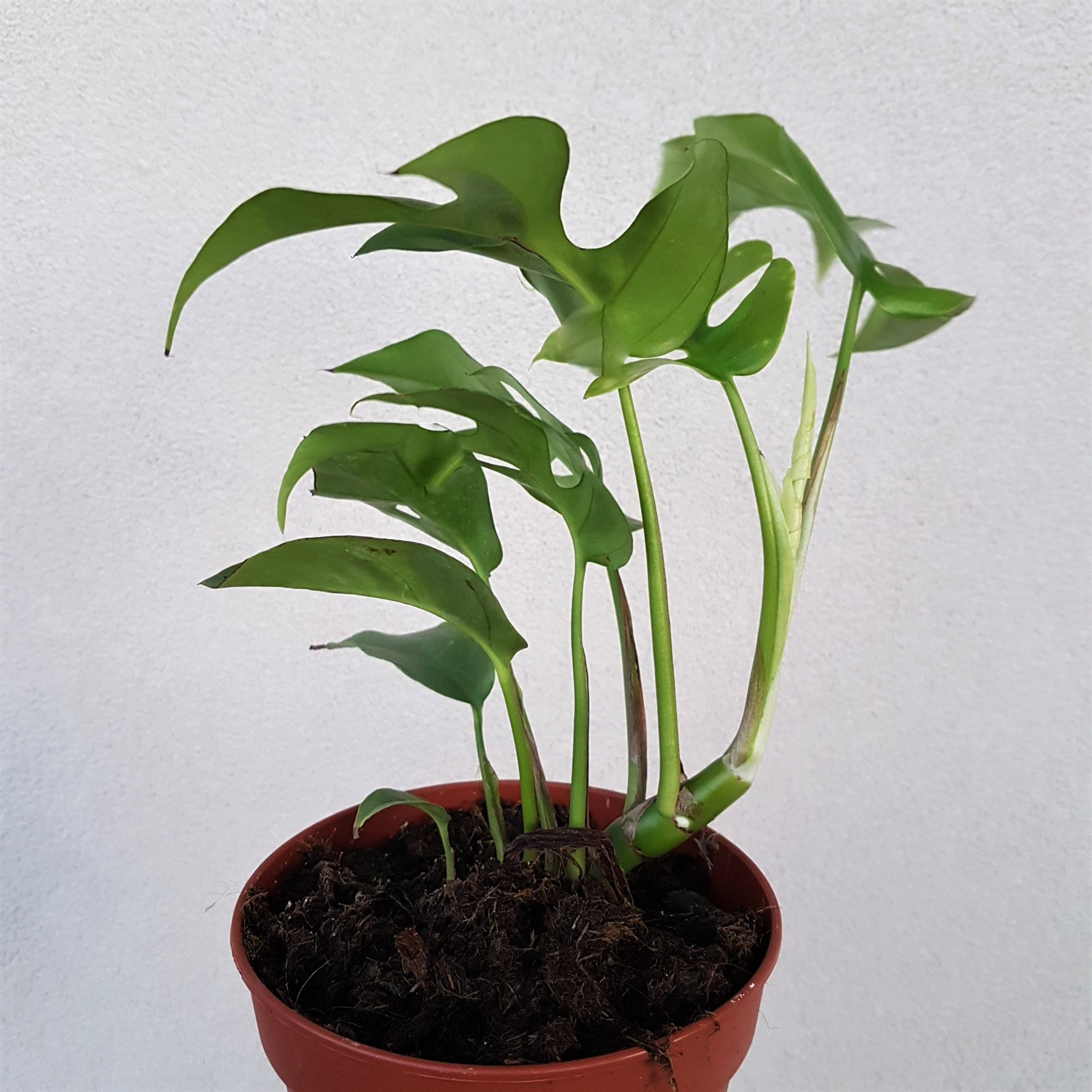 Philodendron Minima 120mm