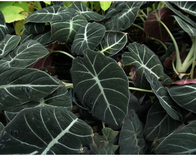 Alocasia black velvet 120mm