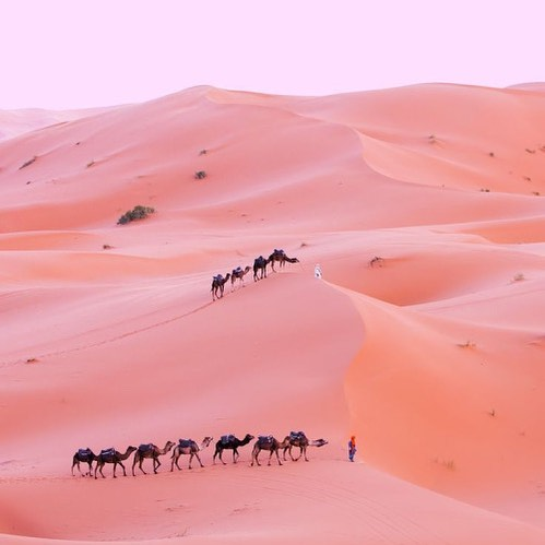 Camels in a pink desert photography