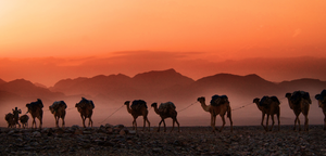 Camels walking across the desert at dusk photography