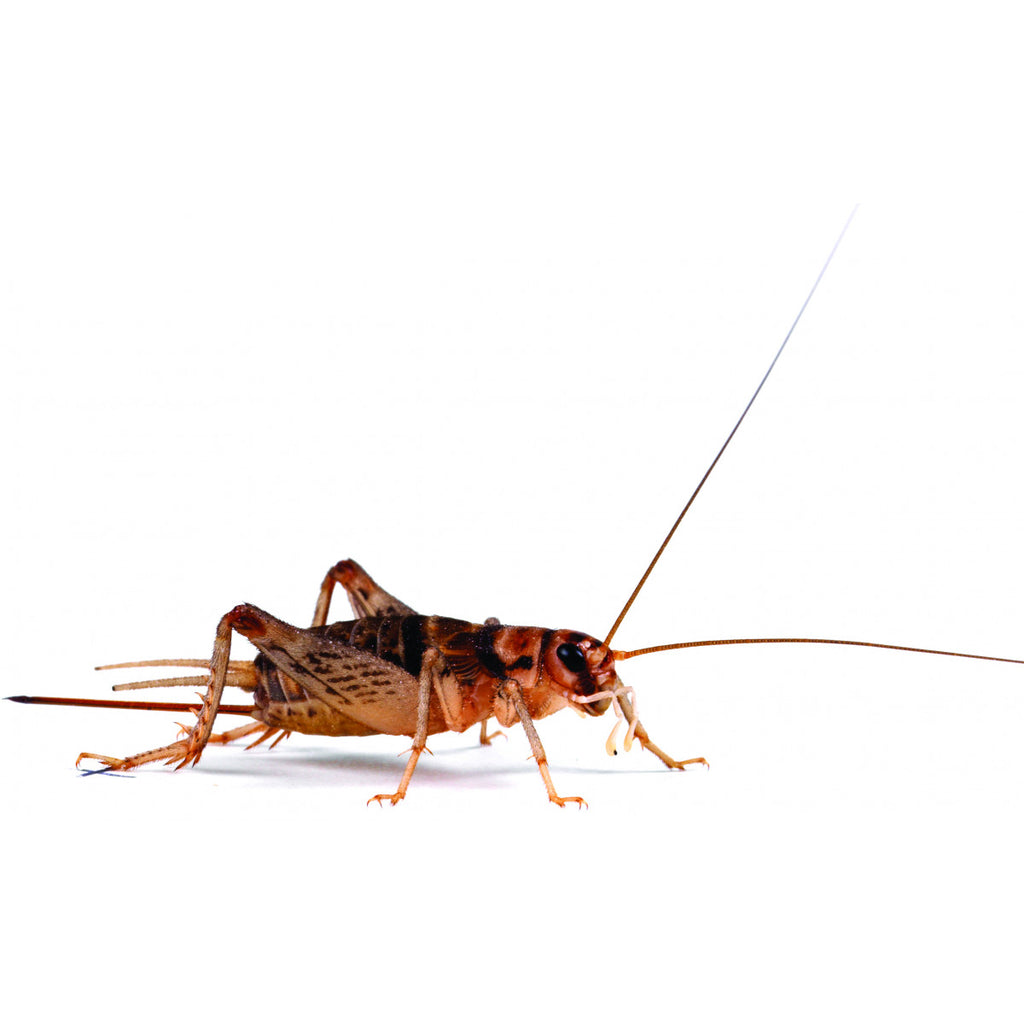 Banded Brown Crickets