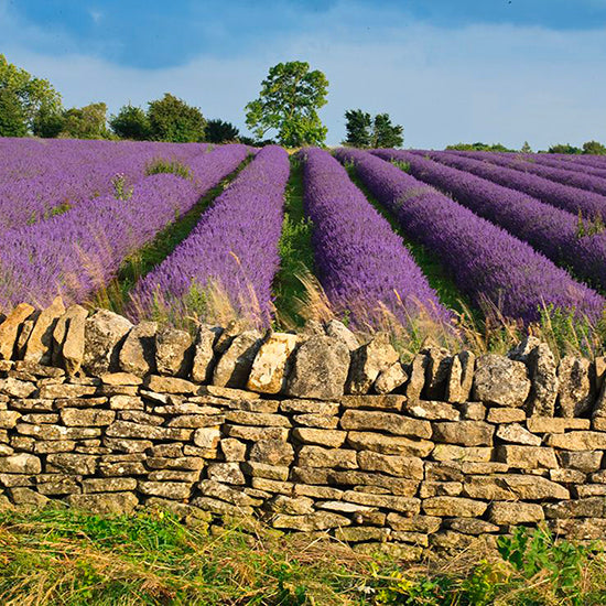 Lavender fields to visit this summer