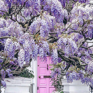 Wisteria hysteria in London
