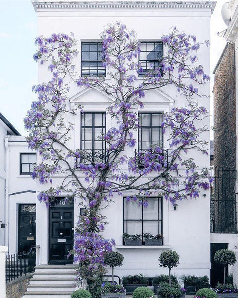Wisteria in London