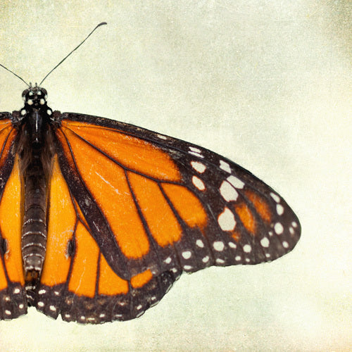 Featured Art Rental Collection - Lepidoptera