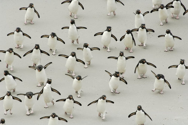 Wildlife Photographer of the Year - Rockhopper rush-hour (#WILDLIFE_02)