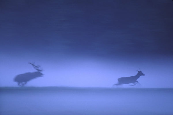 Wildlife Photographer of the Year - Red deer, blue haze (#WILDLIFE_03)