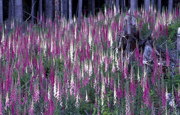 Wildlife Photographer of the Year - Foxgloves (#WILDLIFE_06)