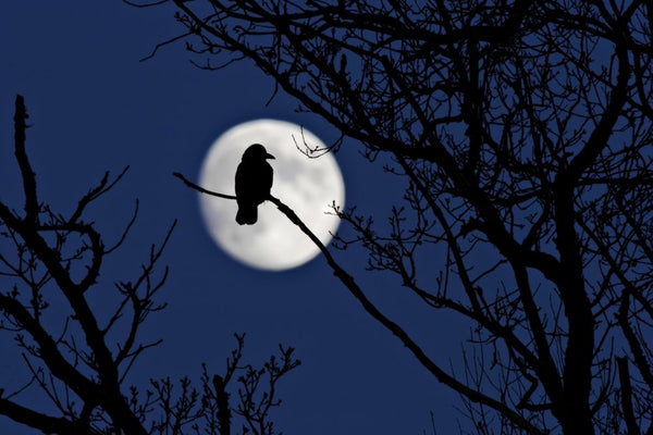 Wildlife Photographer of the Year - Moon crow (#WILDLIFE_13)