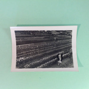 Vintage Mid Century B&W Photo Holland Michigan Tulip Festival Fields of Flowers