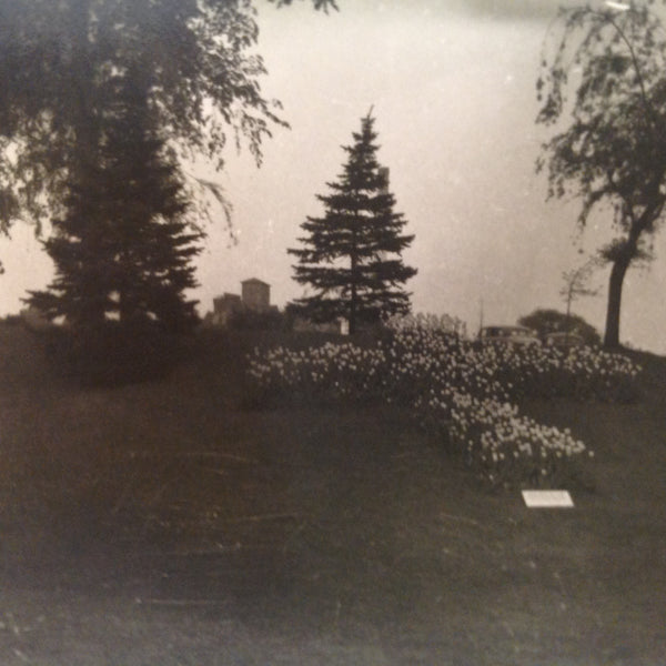 Vintage Mid Century B&W Photo Holland Michigan Tulip Festival Flower Garden with Pines and Weeping Willow