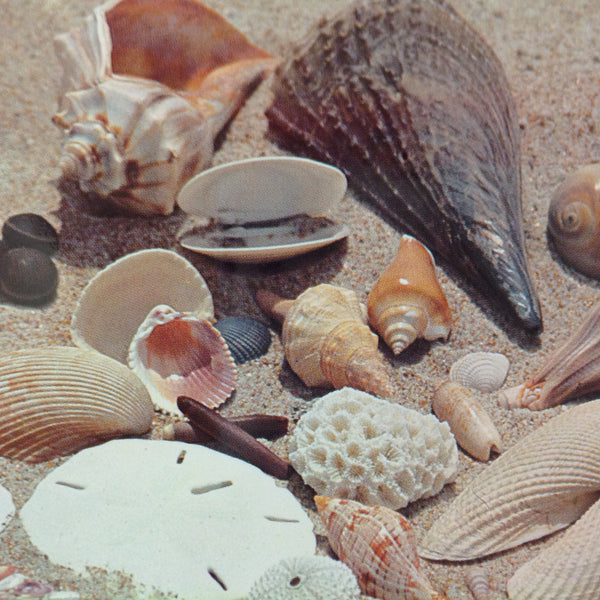 Vintage Color Postcard Treasures From the Gulf Coast Beach Shells Guide
