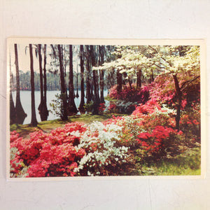 Vintage Color Postcard Mobile Alabama Azaleas Bloom in Springtime