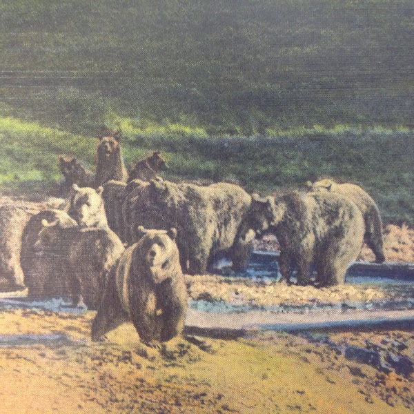 Vintage Mid Century Haynes Inc Curteich Color Postcard Grizzly Bears Near Otter Creek Grand Canyon National Park Arizona