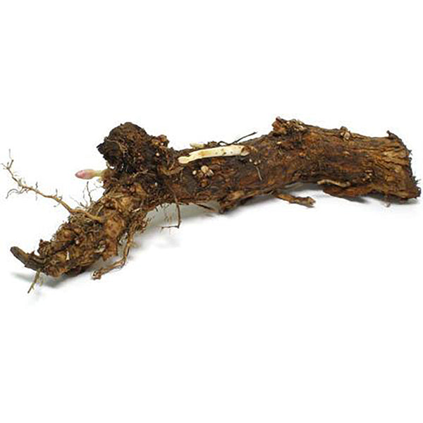 Hop Rhizomes - East Kent Golding