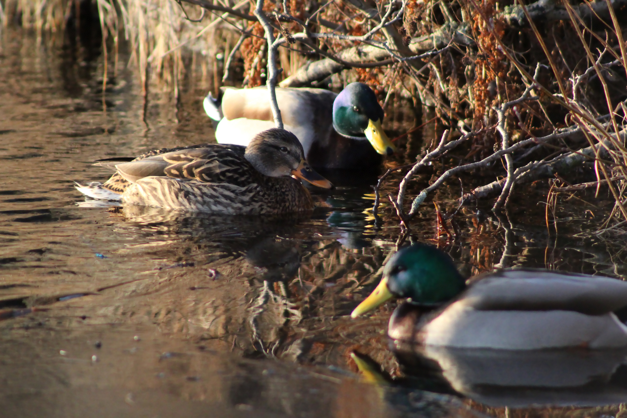 Three mallard ducks
