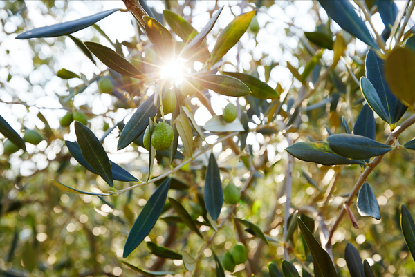 'Liquid Gold' – Italian Olive Oil in Beauty Products