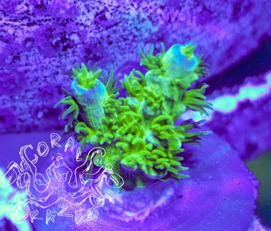 Jason Fox's HomeWrecker Acropora