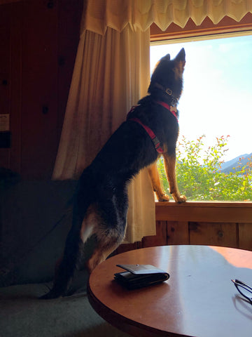The dog waiting at the window